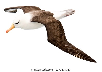 Albatross isolated on white background