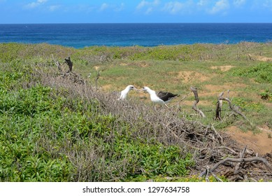 Albatrosses Kissing during the Day