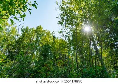 Alberta, Canada - Landscape of sun shining through aspen forest during summer in Weaselhead natural environment park. in Calgary.