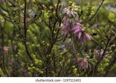 Albertinia heath fynbos flowering in karoo