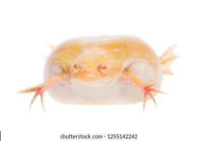 Albino african clawed frog on white background