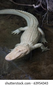 Albino alligator at California Academy of Sciences in San Francisco, California.