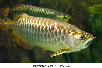 Albino Arowana fish / fish silver arowana swimming in tank underwater aquarium - scleropages aureus white arowana fish