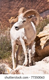 Albino Bighorn Ram Sheep in Red Rock Canyon Nevada
