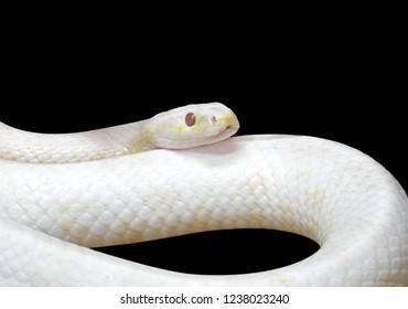 Albino Black Rat Snake Coiled Isolated on Black Background with Clipping Path