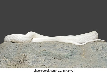 Albino Black Rat Snake Coiled on The Rock Isolated on Gray Background with Clipping Path