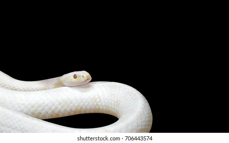 Albino Black Rat Snake Coiled Isolated on Black Background, Clipping Path