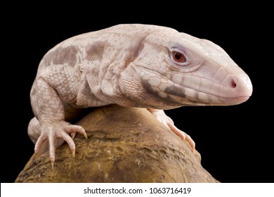 Albino black and white Tegu