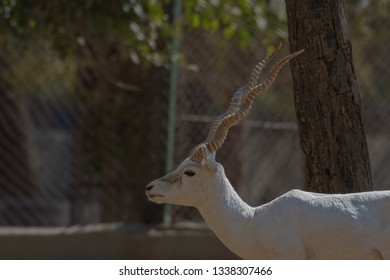 Albino Blackbuck (Antilope cervicapra).Albinism in Blackbuck is rare and caused by the lack of the pigment melanin. The animal looks fully white due to the lack of melanin in their skin.