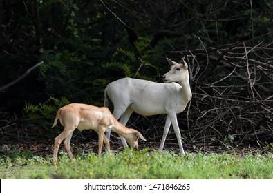 albino blackbuck deer with fawn eating grass