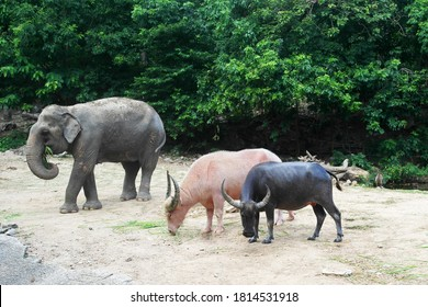 Albino buffalo and black buffalo, baby elephant feed on green grass and tree leaves in zoo or reserve. Herbivores, cloven-hoofed animals