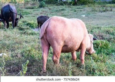 Albino buffalo, Pink buffalo eating grass on field. Thailand