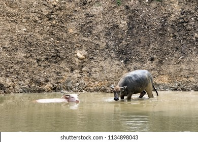 albino buffalo and a regular buffalo seek refreshment in the water