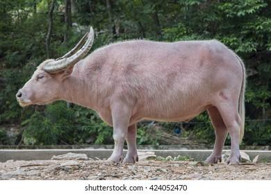 albino buffalo in zoo