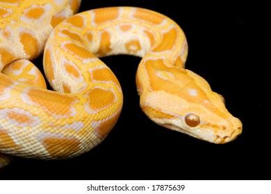 Albino Burmese Python (Python molurus bivittatus) on black background.