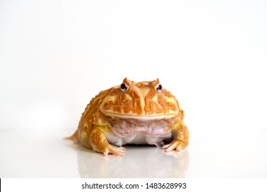 Albino Ceratophrys cranwelli frog on white background with reflection
