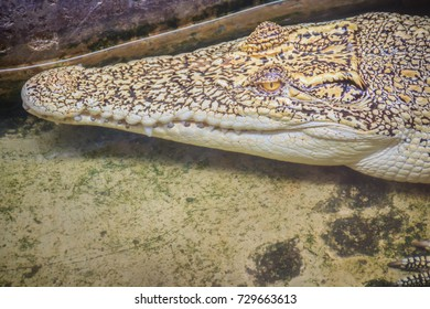 Albino crocodile is conceal low in the water. Alive golden crocodile in Thailand crocodile farm.