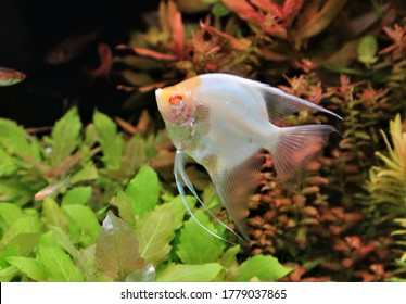 Albino freshwater angelfish is swimming in freshwater aquarium. Pterophyllum scalare 			Is freshwater fish in Family Cichlidae, one of the most popular aquarium fish.