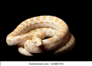 Albino Great Plains rat snake (Elaphe emoryi) isolated on black background.