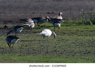 An albino Greylag Goose stands out in a flock feeding geese at the swedish island Oland in the Baltic Sea
