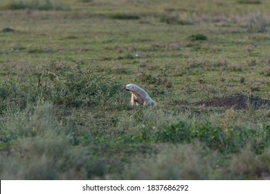 Albino Honey Badger in the Serengeti National Park in Tanzania