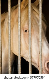 Albino horse in a stable