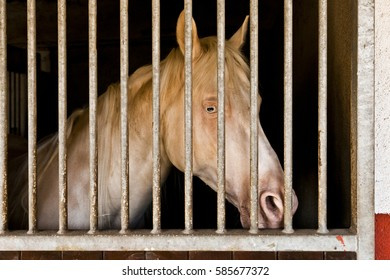 albino horse in stable