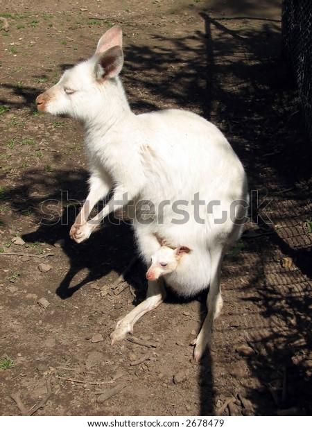 albino kangaroo island kangaroo and joey