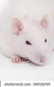 albino lab rat, closeup