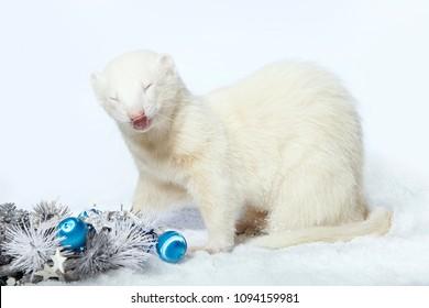 Albino male ferret in winter christmas style posing in studio