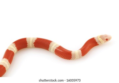 https://image.shutterstock.com/image-photo/albino-milk-snake-lampropeltis-triangulum-260nw-16035973.jpg