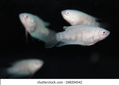 Albino paradise fish (Macropodus opercularis) aquarium fish