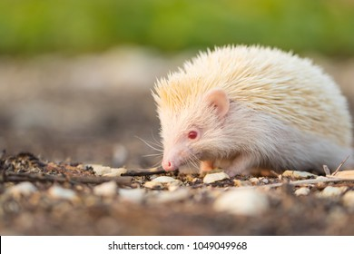 Albino porcupine lying on the ground floor. Animal in Naturally portrait style with blur green grass background. Soft focus. (African Pgymy Hedgehogs)