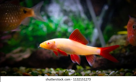 Albino Rainbow Shark Images Stock Photos Vectors Shutterstock
