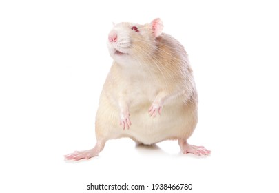 Albino rat cutout isolated on a white background