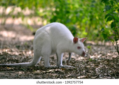 Albino Red-necked wallaby or wallaby of Bennett (Macropus rufogriseus) on a carpet of dead leaves