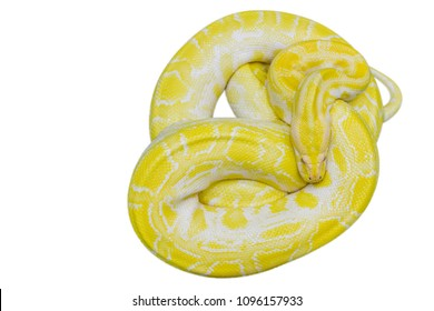 The Albino Royal Phyton Yellow Snake image is curled in a circular motion to alert the approaching threat. The Albinos Pacific snake displaying his attacking attitude is isolated on a white background