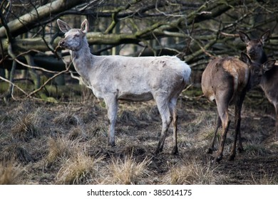 Albino sika deer (Cervus nippon) in The Deer Park, Denmark
