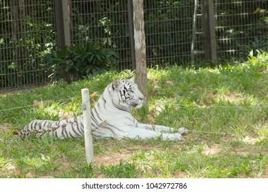 Albino tiger laying on grass