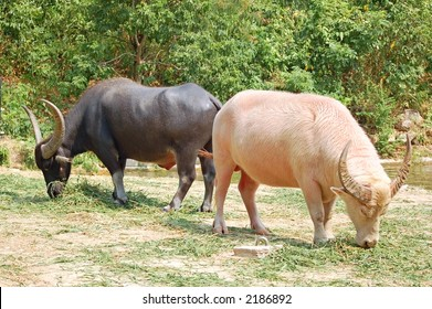 An albino water buffalo with a normal one