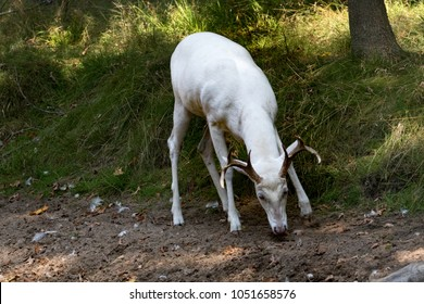 Albino, white fur coloration white-tailed deer - Shutterstock ID 1051658576