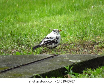 albinotic common blackbird, eurasian blackbird,