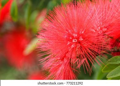 Albizia julibrissin flower