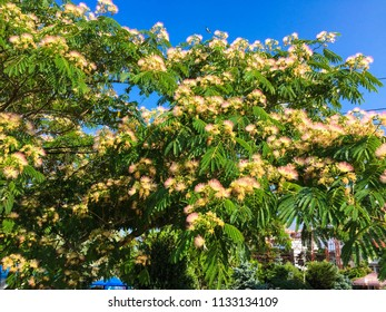 Albizia julibrissin foliage, flowers, immature fruit. Japanese silk acacia on blue sky background. Pink fluffy flowers on blooming Albizia julibrissin (Persian silk tree).