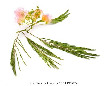 Albizia julibrissin or Persian silk tree, pink silk tree. Isolated on white background.