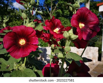 Alcea rosea, the common hollyhock, is an ornamental dicot flowering plant in the family Malvaceae. It was imported into Europe from southwestern China during, or possibly before, the 15th century.