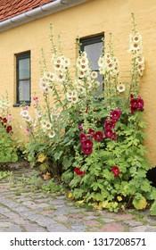 Alcea rosea (common hollyhock) are popular garden ornamental plant.