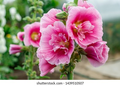 Alcea Rosea, a double form in pink. They are popular garden ornamental plant. Also comonly known as Hollyhock or Malva. Close up of blooming hollyhock malva flowers in the garden