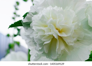 Alcea Rosea, a double form in white. They are popular garden ornamental plant. Also comonly known as Hollyhock or Malva. Close up of blooming hollyhock malva flower. Macro.