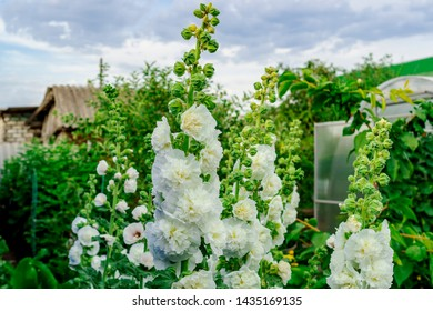 Alcea Rosea, a double form in white. They are popular garden ornamental plant. Also comonly known as Hollyhock. Close up of blooming hollyhock flowers in the garden with blue sky background.
